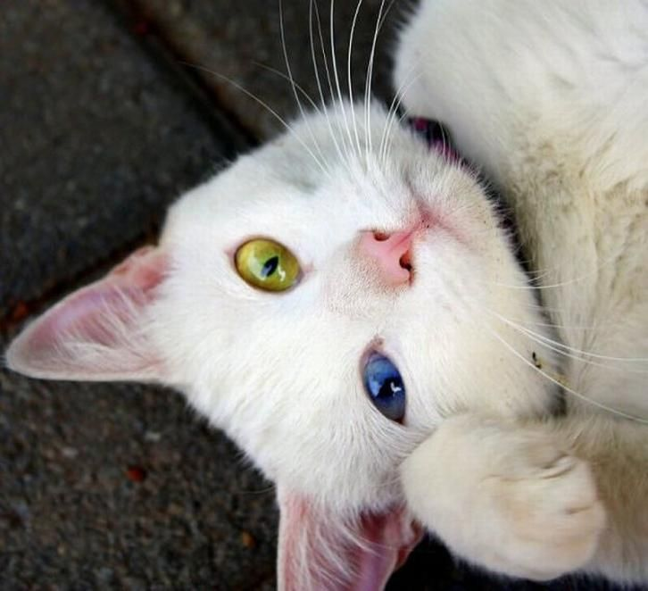 Why some cats have 2 eyes color?
